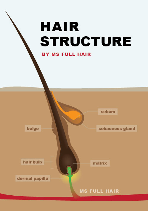 hair follicle structure v5