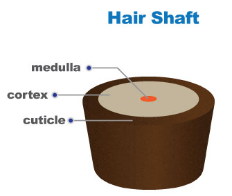 Women s hair loss 101 hair follicle structure and hair growth cycle