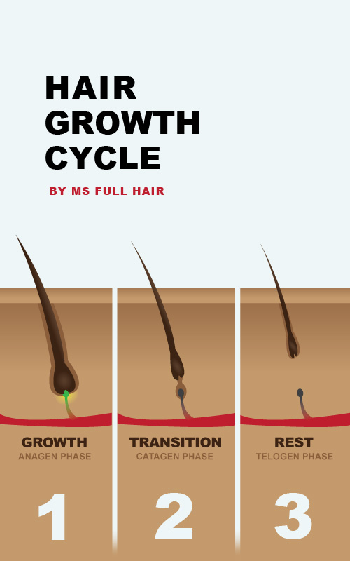 hair growth cycle includes anagen catagen and telogen phases