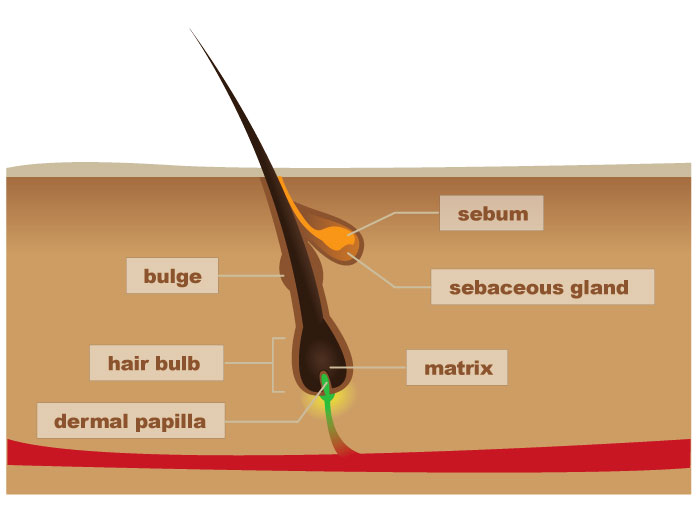 hair follicle structure diagram