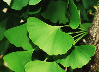 ginkgo biloba for hair loss