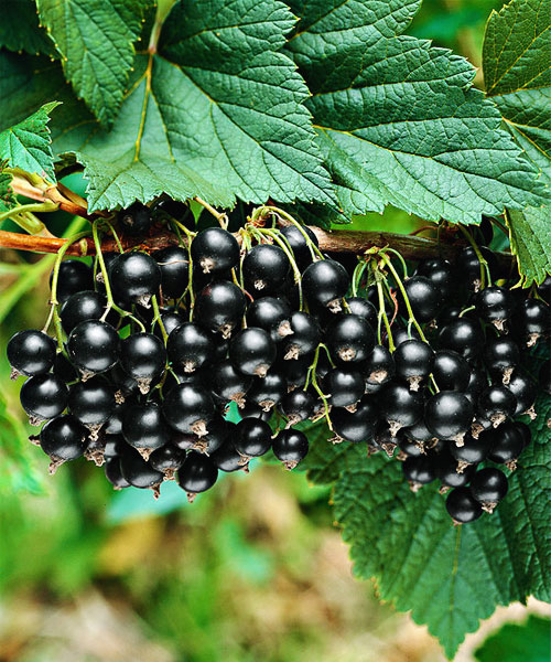black currant seed oil reviews
