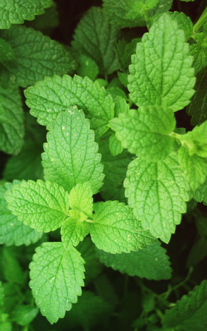 Peppermint oil for hair growth reviews
