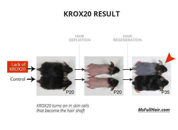 hair regrowth research krox20 protein cells
