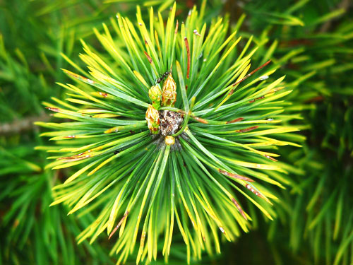 pine needle oil for hair loss