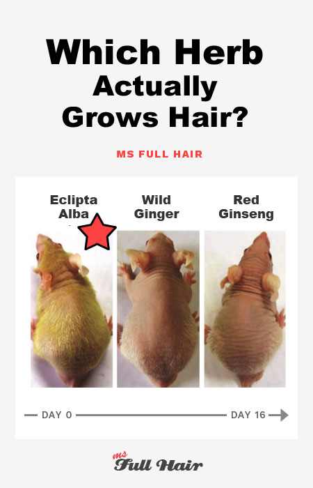 eclipta alba brhingraj powder for hair growth baldness